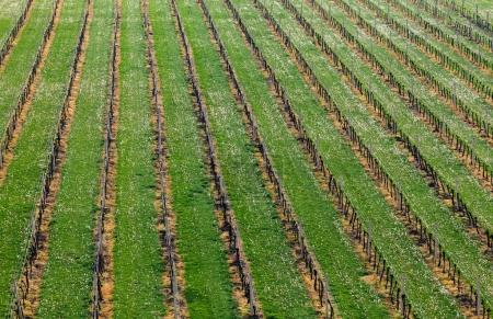 Rows of young vineyard Grape Vines. Spring landsca...