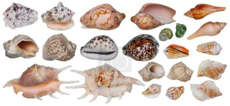 Sinks of tropical sea mollusks isolated set