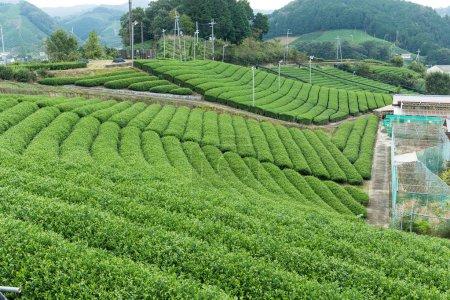 Tea plantation farm