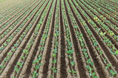 Green Lettuce farm