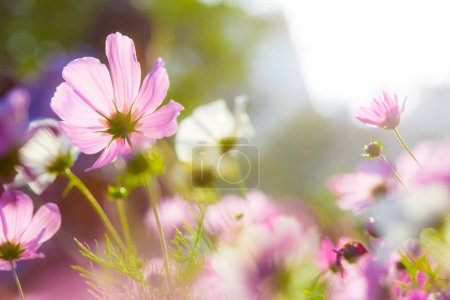 Cosmos flower field with sunshine