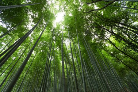 Photo pour Arashiyama des bosquets de bambou au Japon - image libre de droit