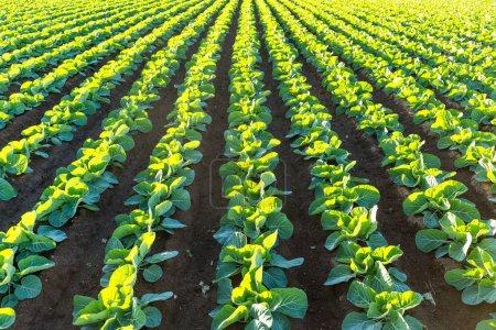 Lettuce green field