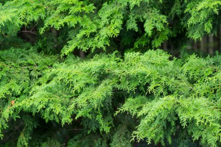 Pine trees in green forest