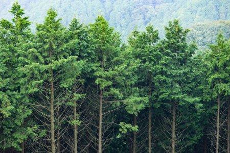 Photo pour Arbres verts dans une forêt, Japon - image libre de droit