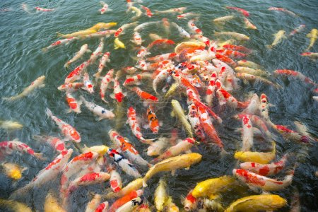 Many Koi fish in pond