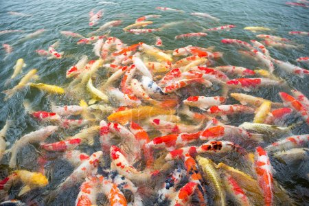 Many Koi fish in pond
