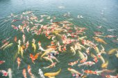 Swimming koi fish in pond