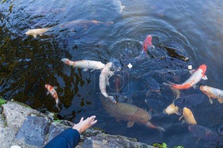 Feeding Koi fish in pond