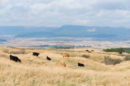 Cows in farm field