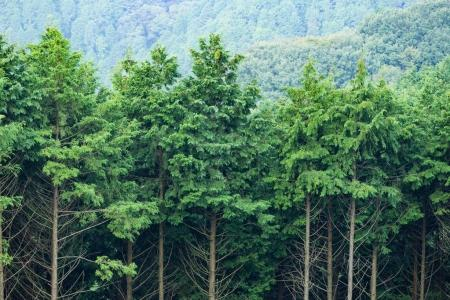Green forest with tall trees