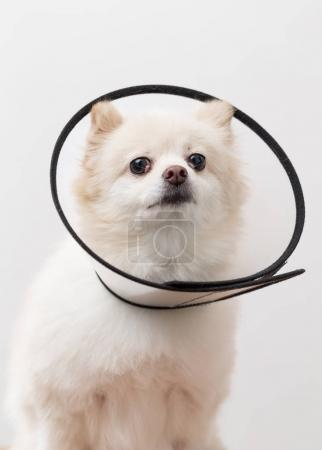 White Pomeranian dog with protective collar