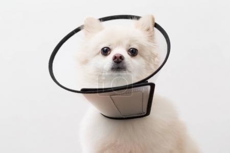 Pomeranian dog wearing protective collar