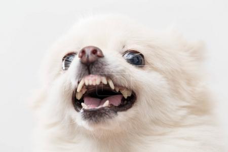 White Pomeranian dog feeling angry