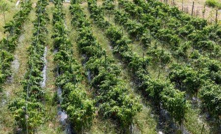 Green field in Japan