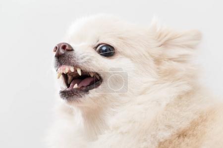 Pomeranian dog getting angry