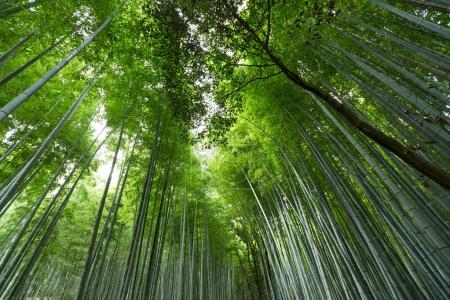 Mysterious bamboo forest