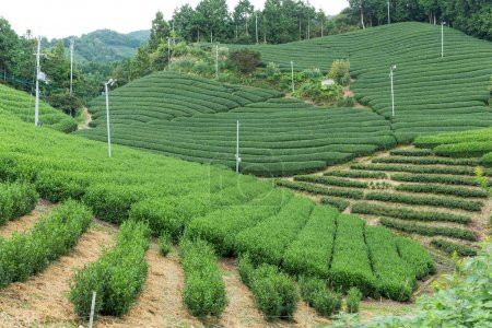 Green fresh tea farm