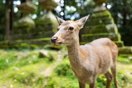 Wild deer in a japanese temple