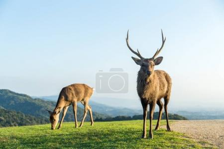Lovely Male wild deers at the mountain