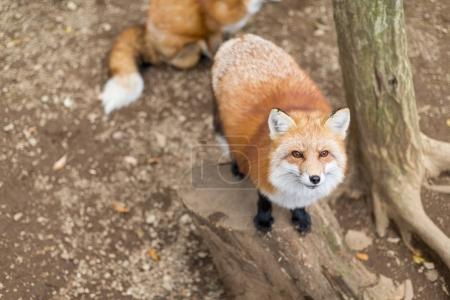 Foxes waiting for food