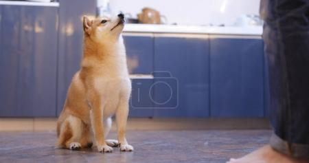 Shiba inu dog give hand for snack from owner