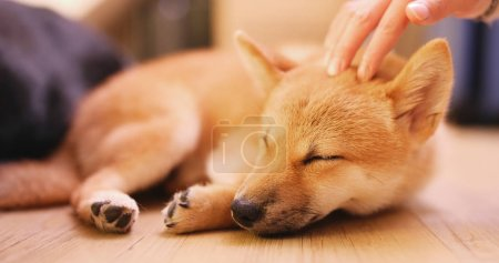 Pet owner caress on little puppy shiba inu dog