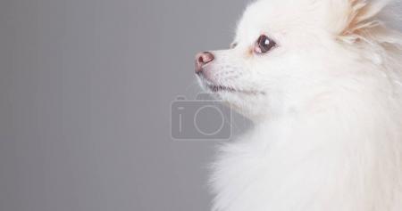 Side profile of Pomeranian dog