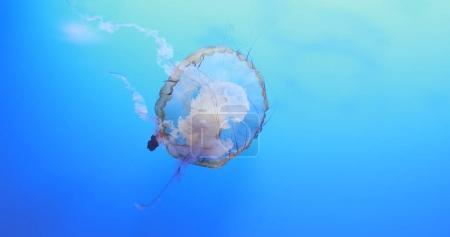 Beautiful Jellyfish in the blue ocean