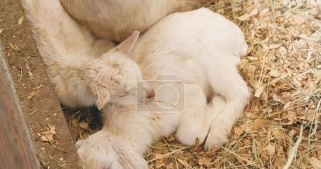Little baby goats in the farm sleeping on straw...