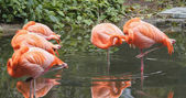 Pink flamingos in natural pond