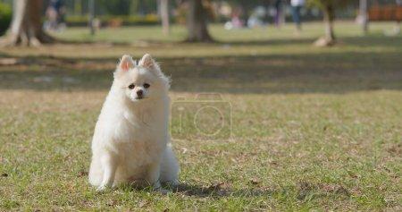 Niedlicher Pommernhund im Freibad