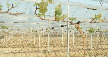 Grape green fruits in farm