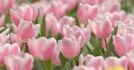 Beautiful Pink tulip garden