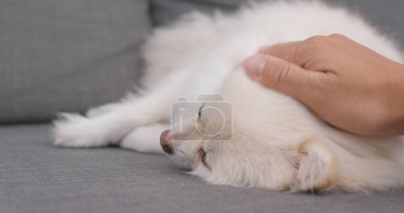 Pet owner play with Pomeranian dog at home