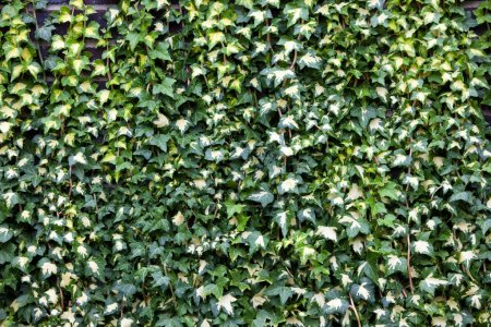 green ivy growing on wall