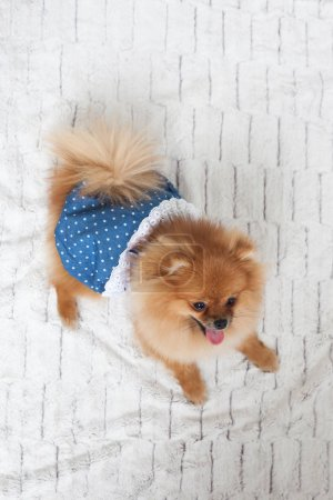 Pomeranian in a dress lying on a blanket at home