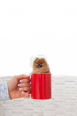 Portrait of a Pomeranian Spitz in a mug.