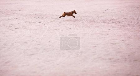 A small puppy of a zwergpinscher runs on the sand for a walk