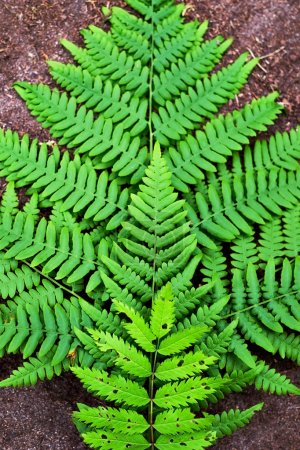 Photo pour Feuille de fougère vert sur fond de terrain bouchent - image libre de droit