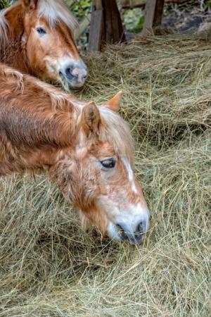Small brown pony eats hay in the pasture