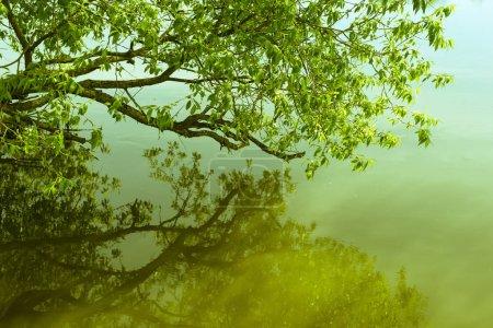 Foto de Rama escénica de sauce sobre aguas tranquilas de la mañana - Imagen libre de derechos