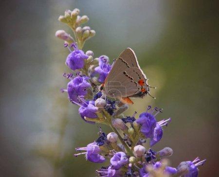 gray hairstreak butterfly on a flower