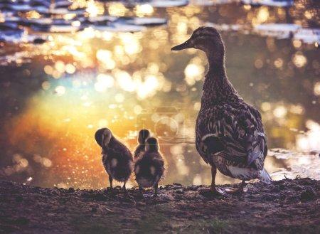 Photo pour Un canard-mère colvert avec plusieurs canetons se faisant passer pour devant un étang qui reflète le coucher du soleil sur une journée d'été tonifiée avec un filtre vintage rétro - image libre de droit