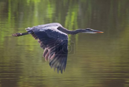 a heron in a local wildlife park hunting
