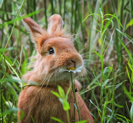 Photo for A cute rabbit eating a daisy at a local wildlife sanctuary park in a city - Royalty Free Image