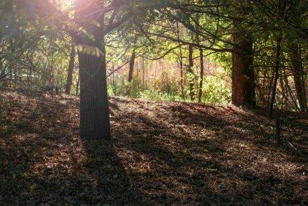 Photo pour Un bosquet d'arbres en silhouette sur une journée ensoleillée d'automne dans un parc public local avec le coucher de soleil derrière la création d'une belle lumière parasite - image libre de droit