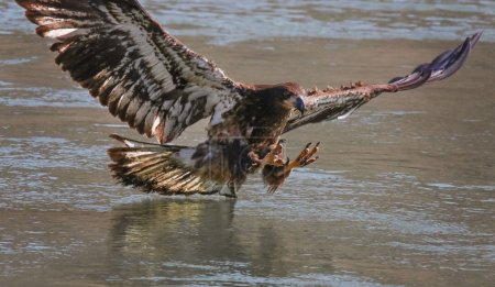 eagle searching for food