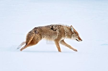 a coyote running across a snow covered pond in the middle of win