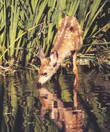 Photo pour Un cerf de bébé mignon avec des taches sur son pelage en prenant un verre d'eau dans un étang dans un parc de sanctuaire de la faune locale avec un joli reflet - image libre de droit